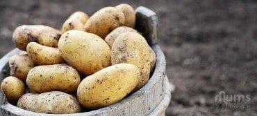 big pail of potatoes