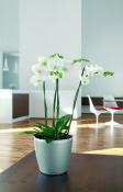 classico orchid